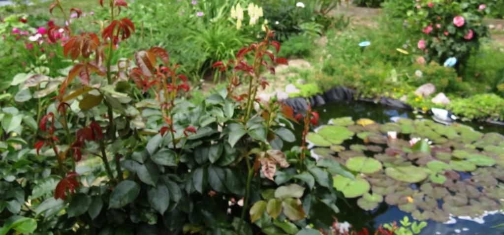 Blick in den Garten mit Gartenteich. Darin leben einige bunte Zierfische.
