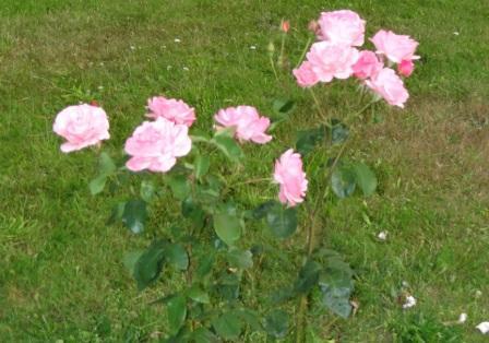 Wunderschöne Rosen in der Nähe der Zimmervermietung Ferienhof Am Kiefernwald