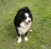 Berner Sennenhund Zeus